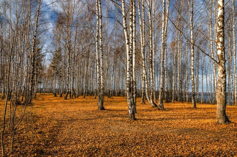 Bosque do vidoeiro no outono fotos de stock royalty free
