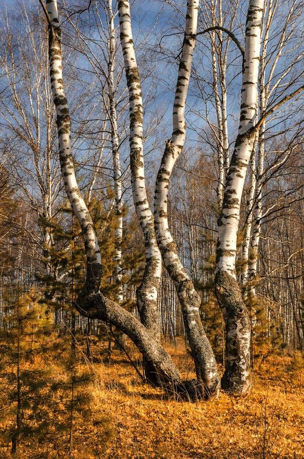 Bosque do vidoeiro no outono imagens de stock royalty free