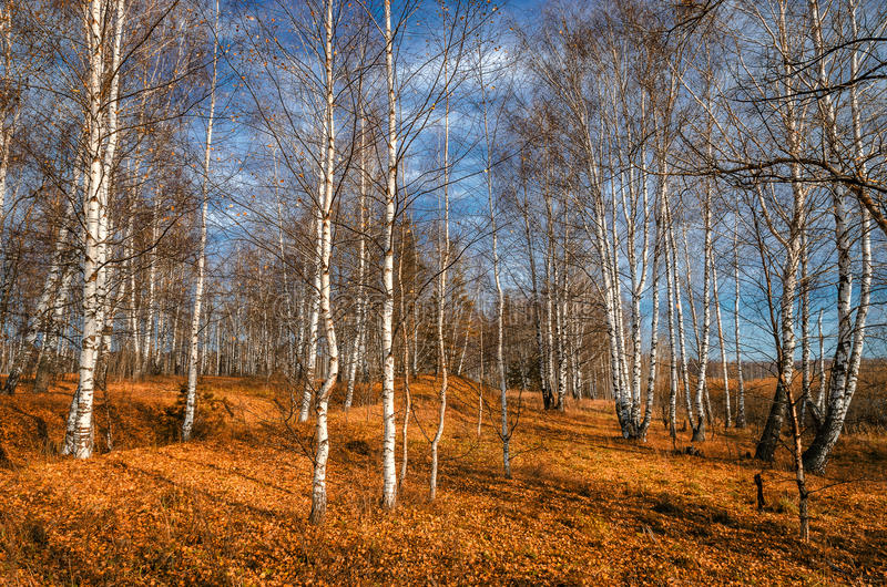 Bosque do vidoeiro no outono foto de stock royalty free