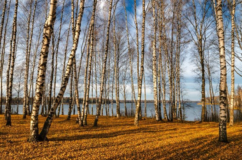 Bosque do vidoeiro no outono fotografia de stock royalty free