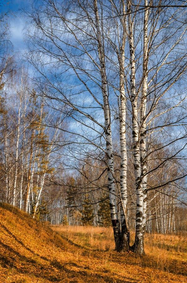 Bosque do vidoeiro no outono imagem de stock royalty free