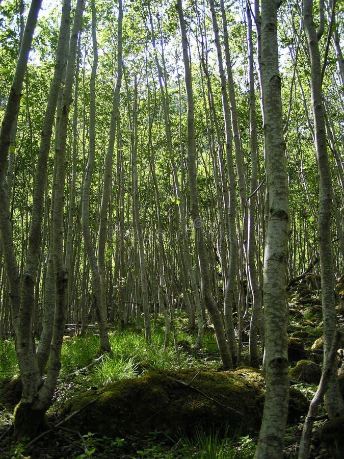 Bosque do vidoeiro (Noruega) foto de stock royalty free