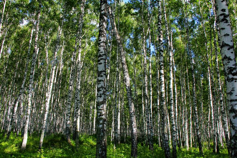 Bosque do vidoeiro do verão em Rússia fotografia de stock royalty free