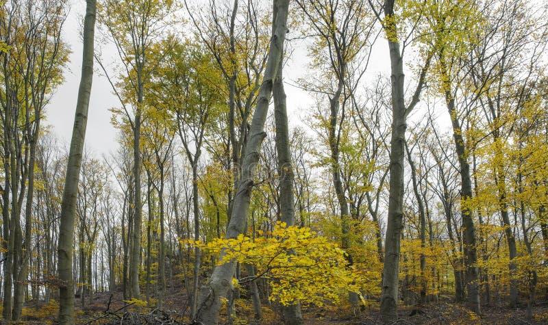 Bosque en caída en colores rojos y amarillos Concepto del otoño imagen de archivo libre de regalías