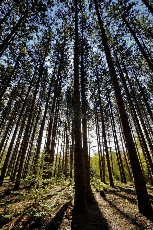Bosque en el amanecer foto de archivo libre de regalías