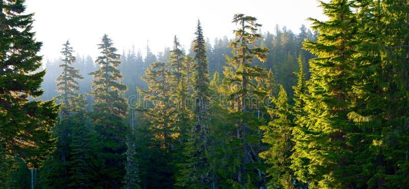 Bosque en el soporte Rainier National Park en la salida del sol imagenes de archivo