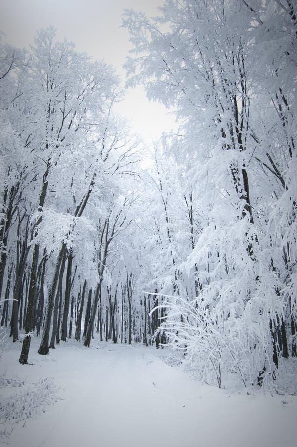 Bosque en invierno fotografía de archivo