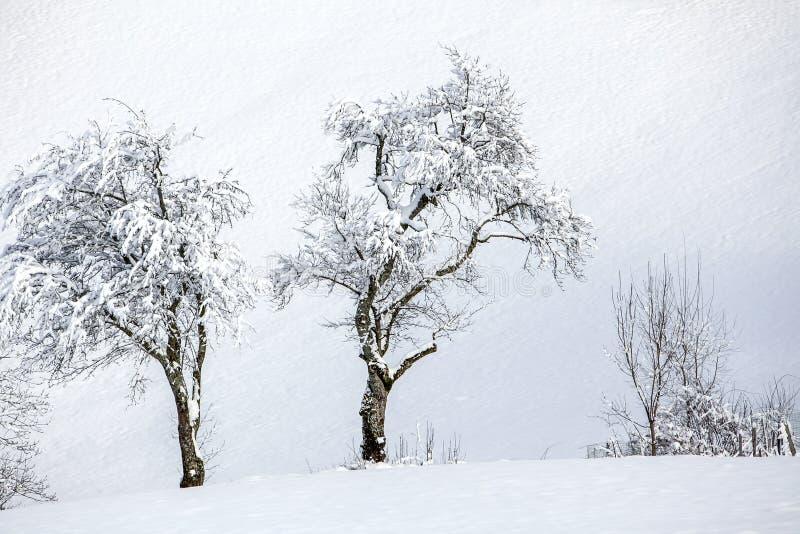 Bosque en la nieve en las montañas y dos árboles solos en un día soleado en invierno foto de archivo