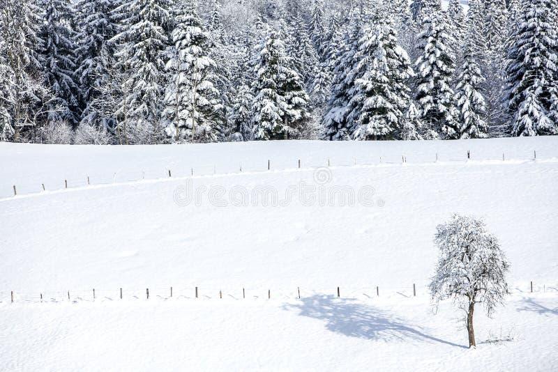 Bosque en la nieve en las montañas y un árbol solo en un día soleado en invierno foto de archivo