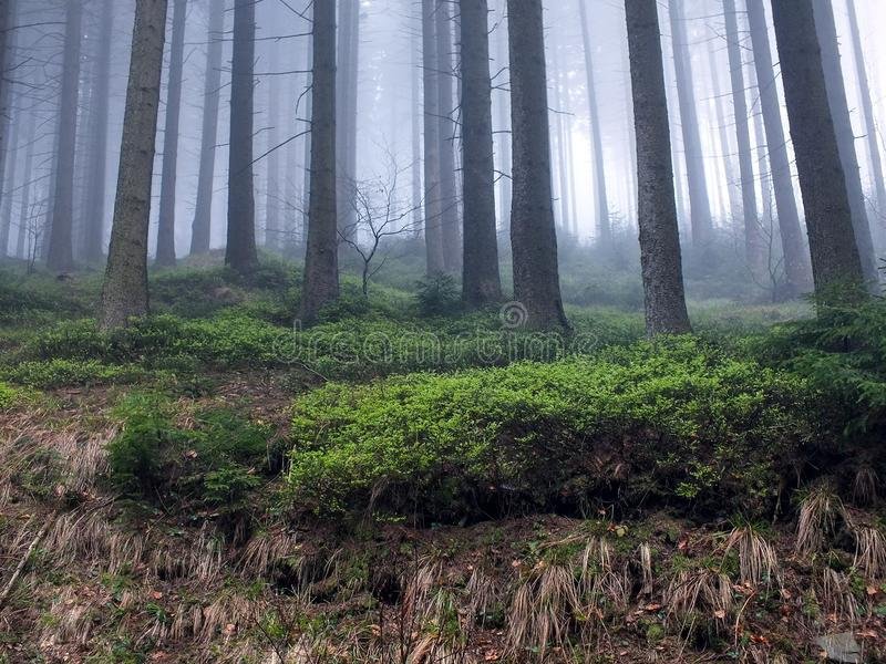 Bosque en una niebla foto de archivo libre de regalías