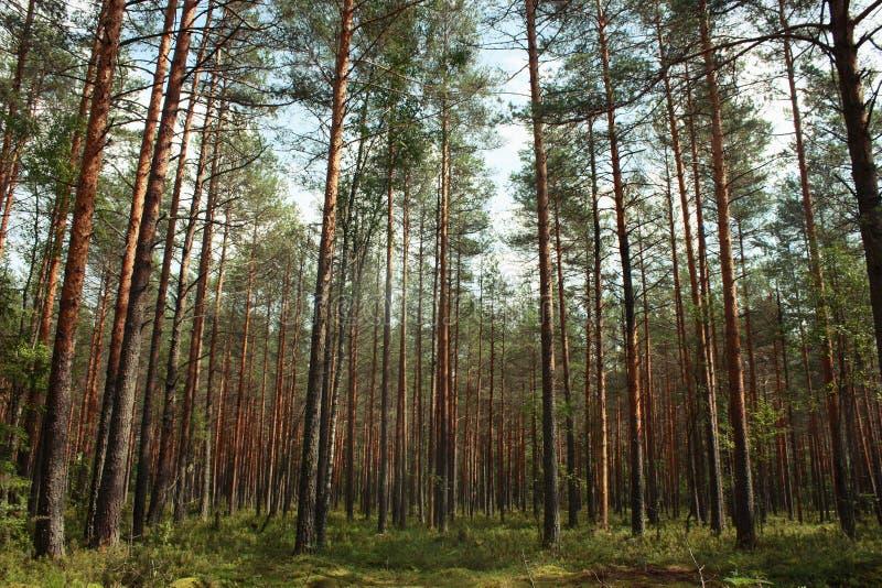 Bosque en verano, pinos de los árboles altos y abetos y musgo fotografía de archivo