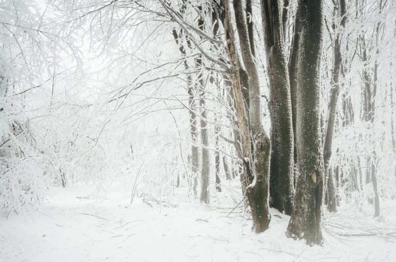 Bosque encantado del invierno con helada en árboles y nevadas fuertes imagenes de archivo