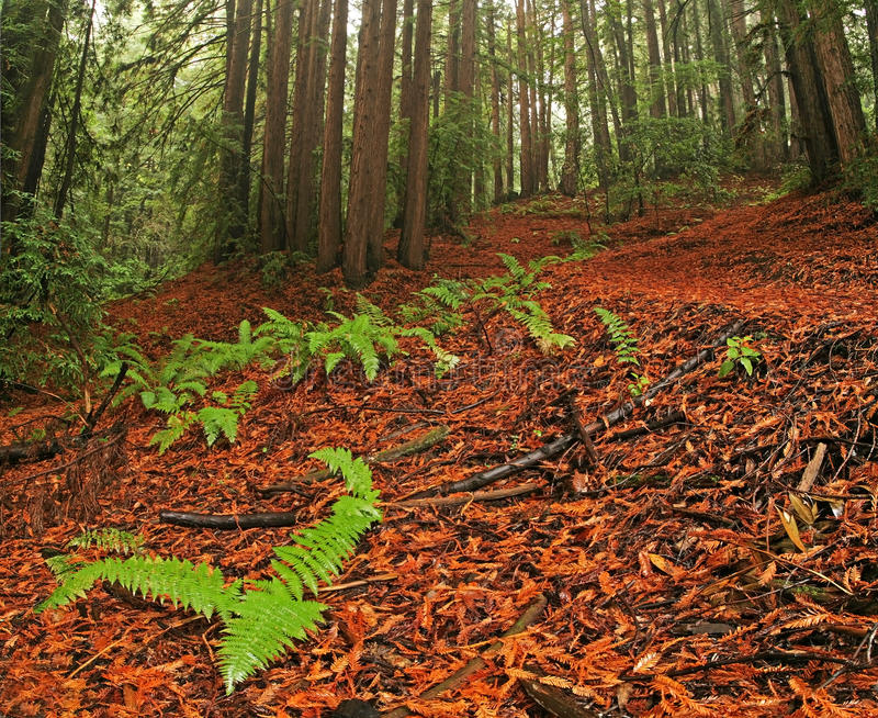 Bosque enorme de la secoya foto de archivo
