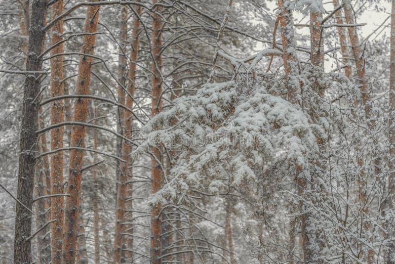 Bosque escarchado nevoso conífero del pino en invierno imágenes de archivo libres de regalías