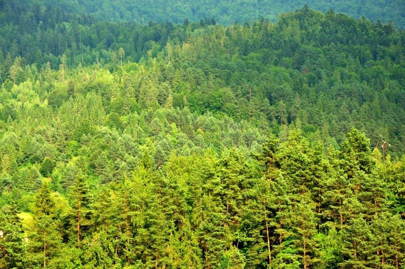 Bosque espacioso natural de la naturaleza de la conífera en Europa Central imágenes de archivo libres de regalías