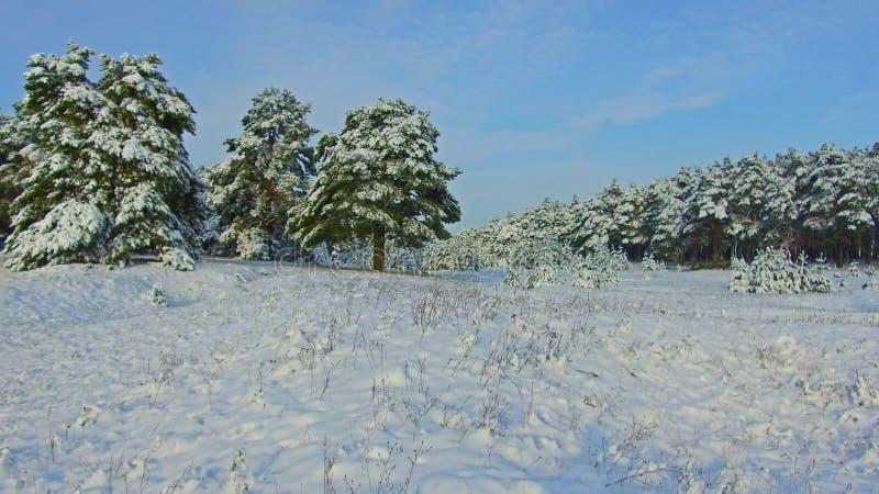 Bosque fabuloso del invierno, tormenta en el bosque del invierno del pino, ventisca en el bosque, Forest Trees In Snow Storm de l imágenes de archivo libres de regalías
