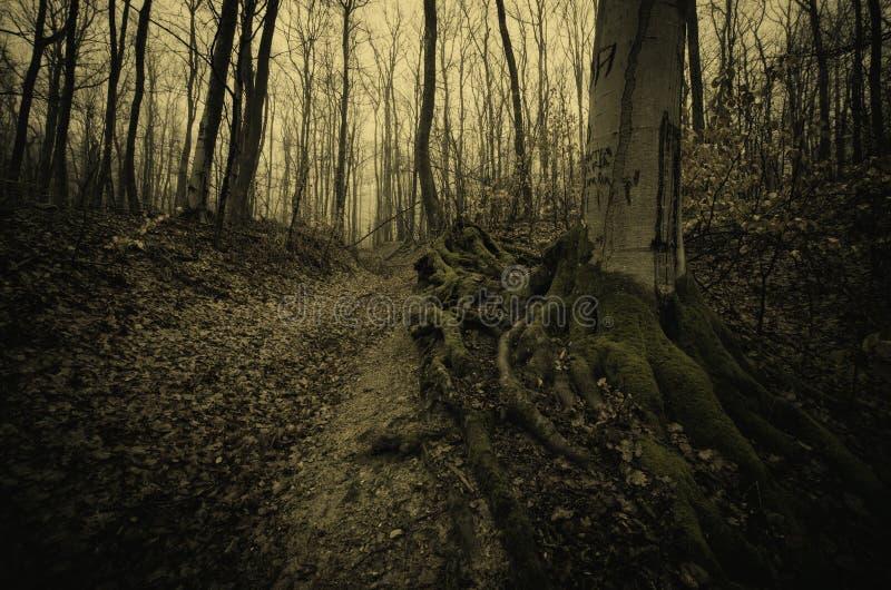 Bosque fantasmagórico con el árbol viejo gigante con las raíces grandes fotos de archivo