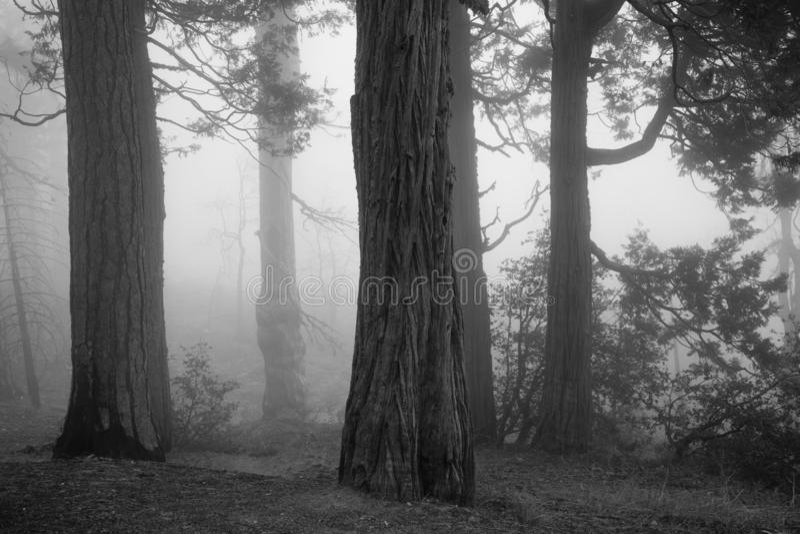 Bosque fantasmagórico con niebla y árboles viejos fotos de archivo libres de regalías