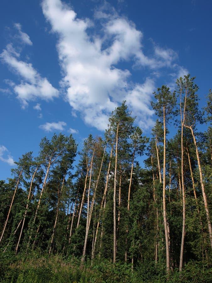 Bosque grande del pino debajo del cielo azul profundo fotografía de archivo libre de regalías