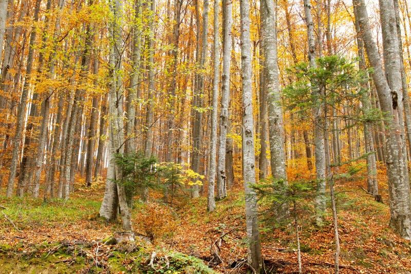 Bosque hermoso de la estación del otoño foto de archivo