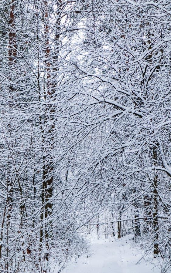 Bosque hermoso del invierno con los árboles nevosos Muchas ramitas cubrieron con nieve fotos de archivo