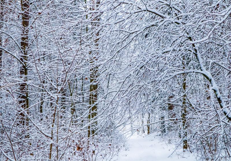 Bosque hermoso del invierno con los árboles nevosos y la trayectoria blanca Porción del  de Ð de ramitas finas cubiertas con la  foto de archivo libre de regalías