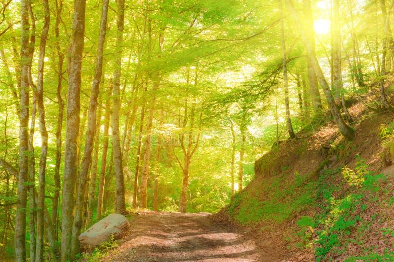 Bosque idílico de la montaña en luz del sol fotos de archivo
