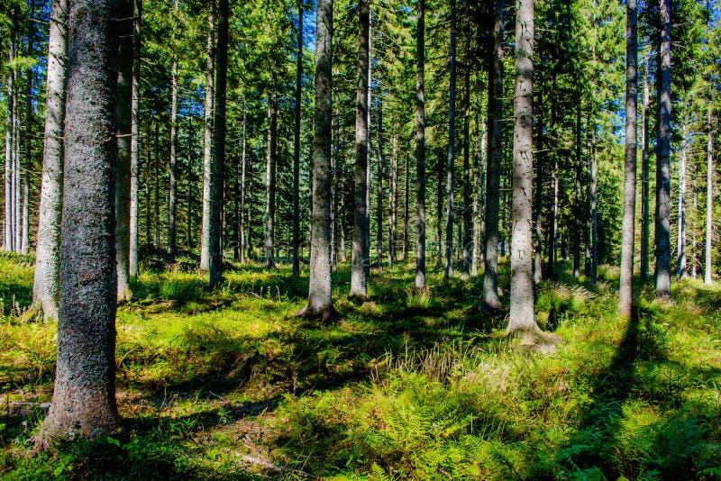 Bosque iluminado por el sol en Austria foto de archivo libre de regalías