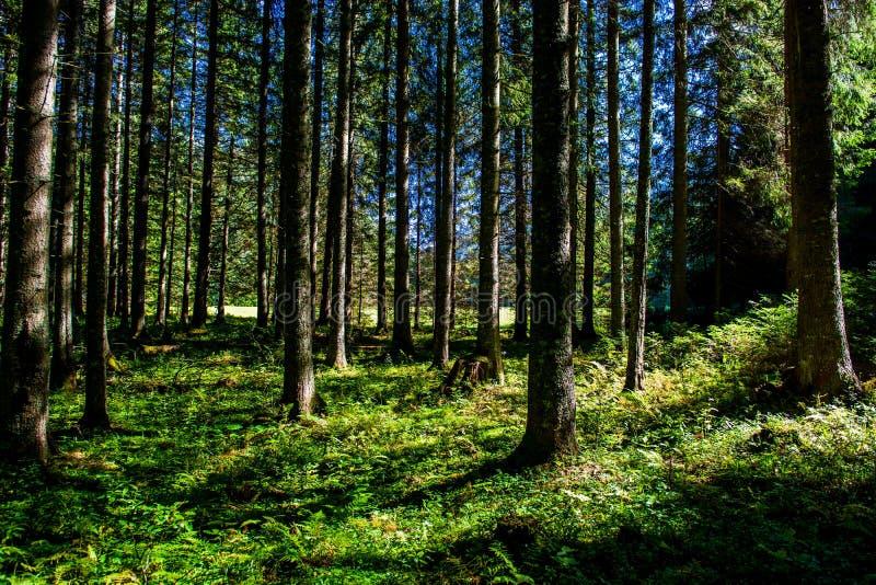 Bosque iluminado por el sol en Austria fotos de archivo