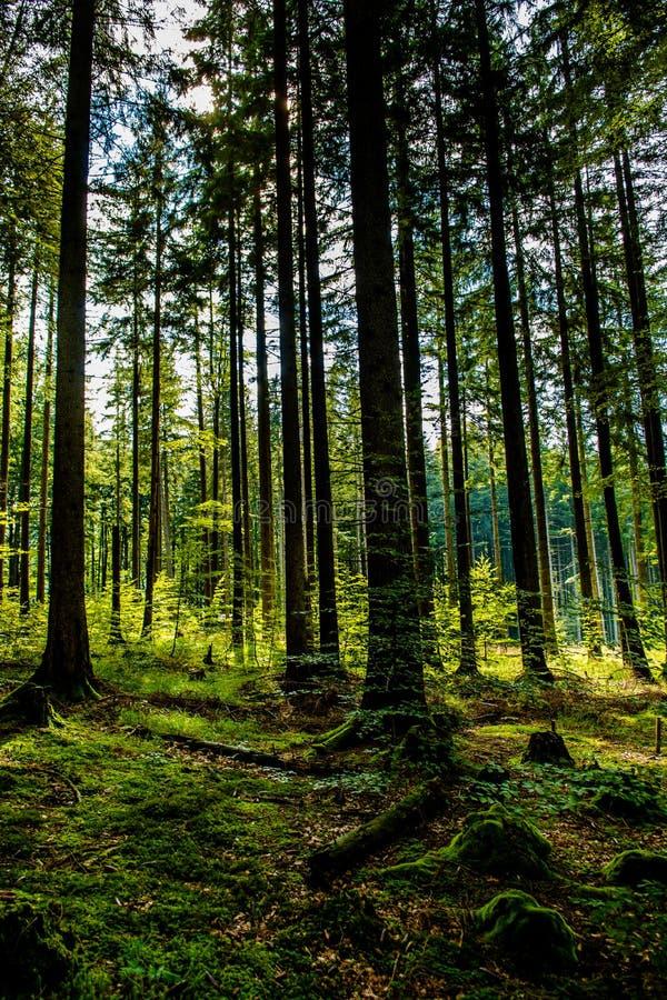 Bosque iluminado por el sol en la colina en Austria fotos de archivo libres de regalías