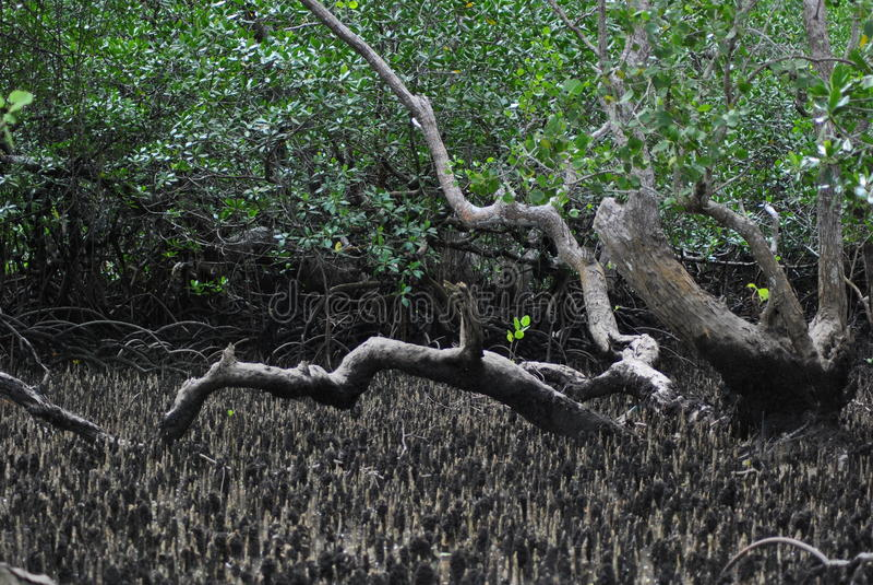 Bosque interior del mangle fotos de archivo libres de regalías