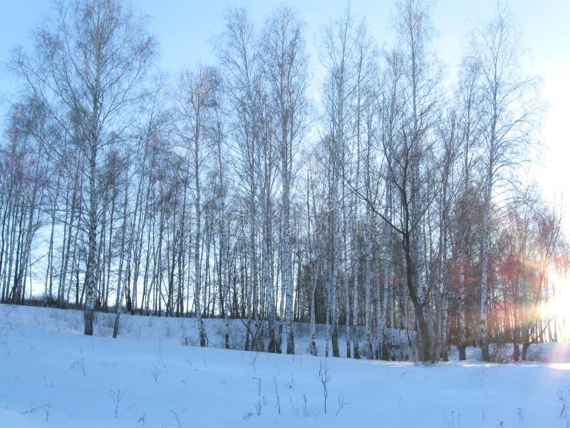 Bosque joven del abedul del invierno fotografía de archivo
