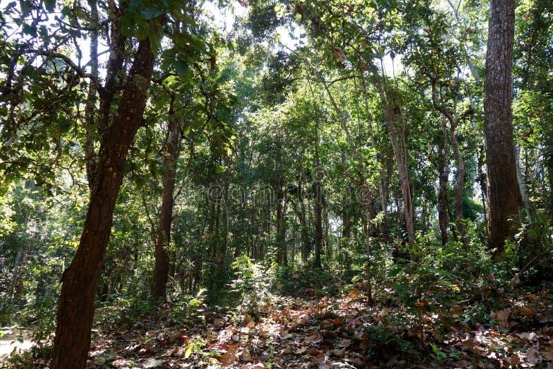 Bosque maduro de la montaña de la teca de la madera dura imagenes de archivo