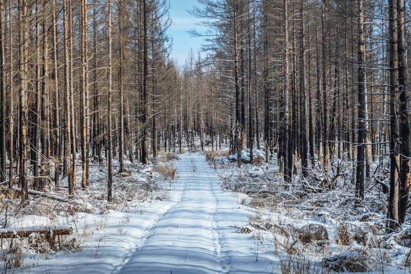 Bosque muerto en invierno imágenes de archivo libres de regalías