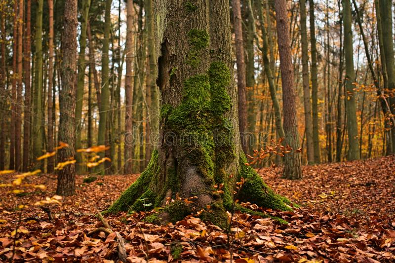 Bosque natural del otoño con el árbol cubierto con el musgo fotografía de archivo libre de regalías