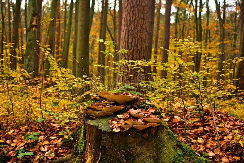 Bosque natural del otoño con el tronco de árbol cubierto con la seta de la ligamaza fotografía de archivo