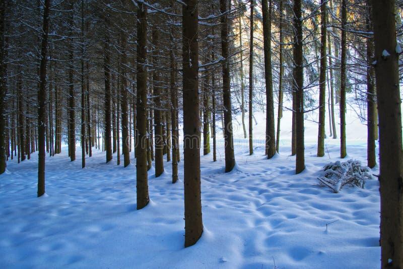 Bosque nevado fotos de stock