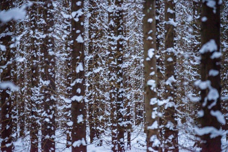 Bosque Nevado imagenes de archivo