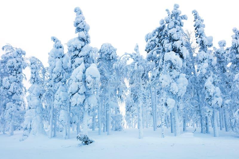 Bosque Nevado después de la ventisca, de árboles congelados y de mucha nieve imágenes de archivo libres de regalías