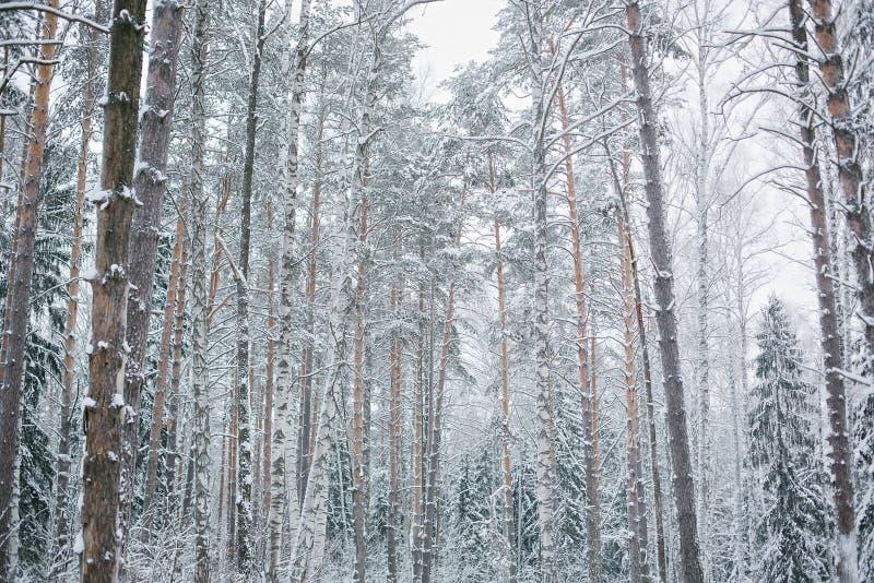 Bosque Nevado en el fondo del cielo imagen de archivo