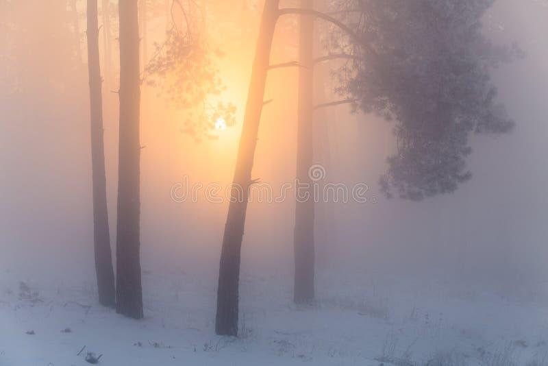 Bosque Nevado temprano por mañana escarchada Forestk brumoso de la Navidad fotos de archivo libres de regalías