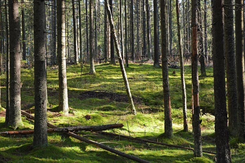 Bosque oscuro con los árboles del abeto y de pino foto de archivo