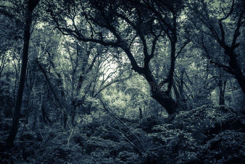 Bosque oscuro de Sasseto infestado por los fantasmas imagenes de archivo