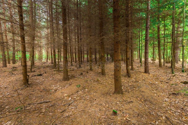 Bosque otoñal oscuro del alerce fotos de archivo