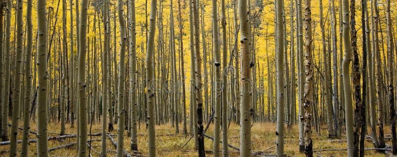 Bosque panorámico de Colorado Aspen en caída fotos de archivo