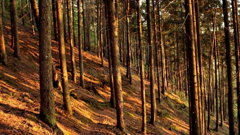 Bosque por completo de los haces de la luz del sol fotografía de archivo libre de regalías