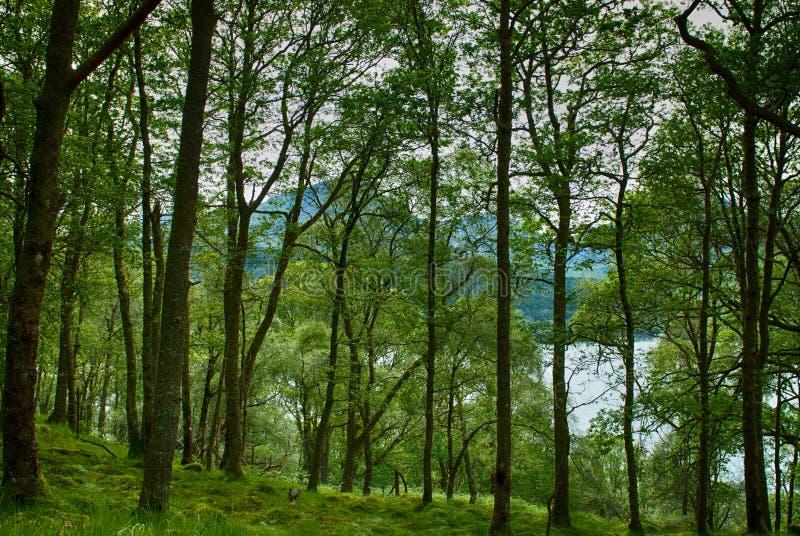 Bosque por Loch Lomond fotografía de archivo libre de regalías