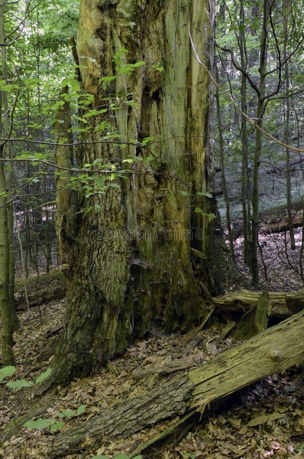 Bosque primitivo de Dobroc, Eslovaquia imagen de archivo