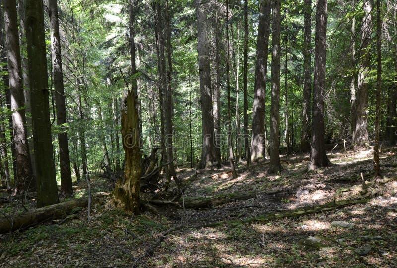Bosque primitivo de Dobroc, Eslovaquia foto de archivo