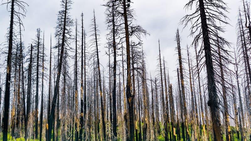 Bosque quemado como resultado del incendio fuera de control 2018 de Ferguson en el parque nacional de Yosemite, Sierra Nevada Mou foto de archivo libre de regalías